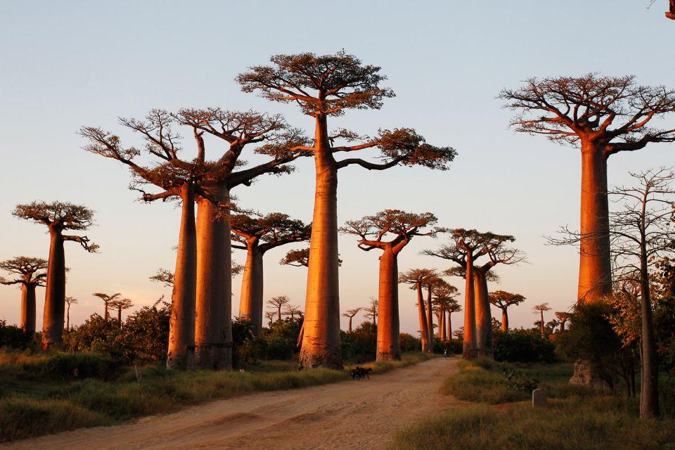 Foresta di Baobab